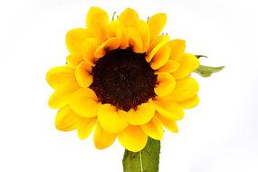 向日葵高清图片