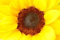 向日葵花芯