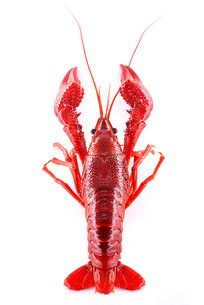 小龙虾顶视高清图