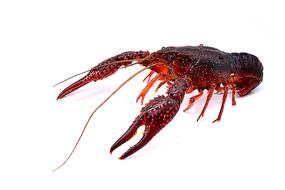 小龙虾高清图