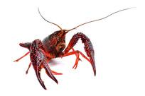 小龙虾高清图片