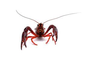 小龙虾摄影图