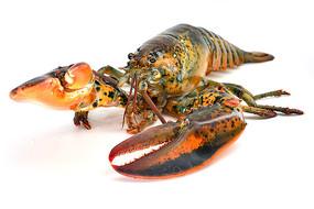 波士顿龙虾高清图