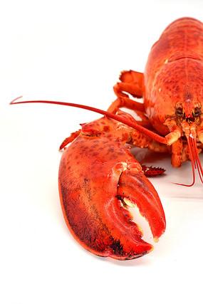 波士顿龙虾摄影图