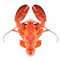 正版龙虾高清图片