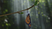蝴蝶孵化过程视频素材