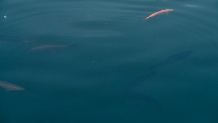 水池水塘金鱼游动视频素材