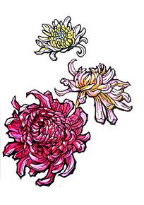 手绘红色菊花图