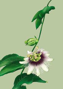 原创手绘插画植物百香果花元素