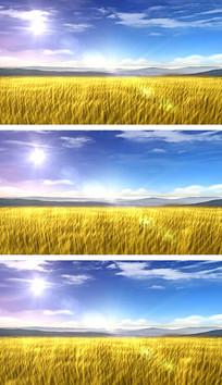 4K蓝天白云风吹麦浪大丰收视频素材