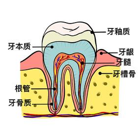 牙齿结构剖面图