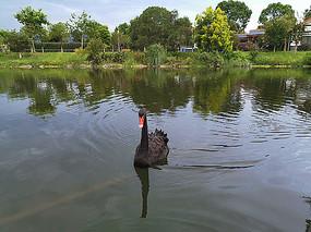 湖上黑天鹅