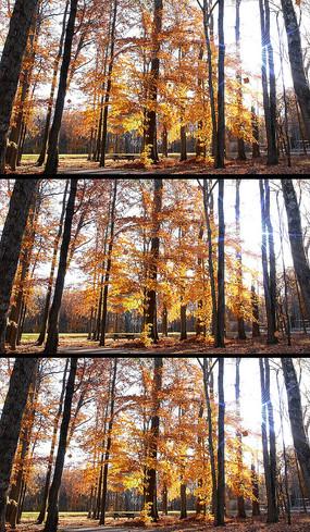 秋天枫林飘落合成背景视频素材
