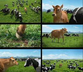 可爱的奶牛跳舞视频素材
