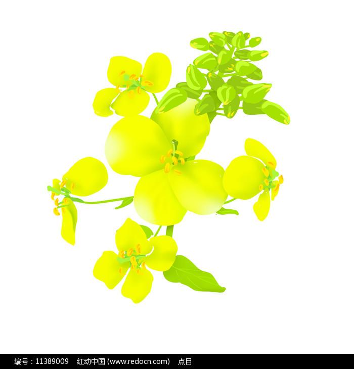 春天油菜花手绘图片