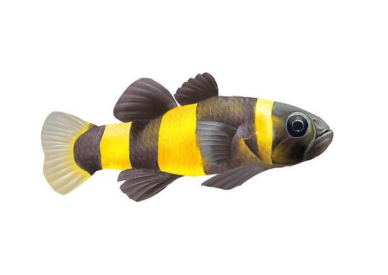 原创手绘小清新写实卡通观赏鱼类蜜蜂鱼插画