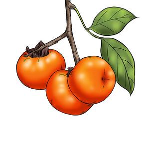 手绘风秋天的柿子