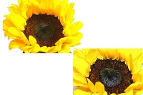 绽放的向日葵花朵图片
