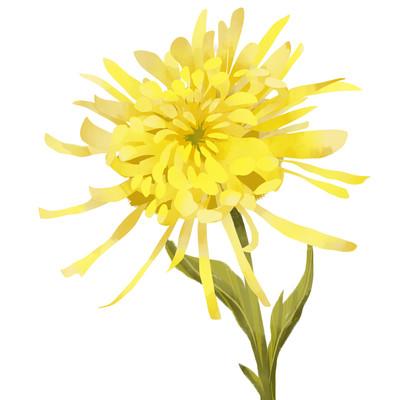 写实菊花手绘黄色单枝菊花