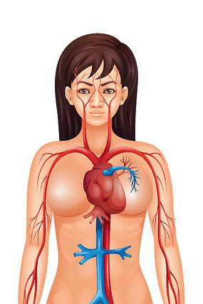 女性人体器官模型