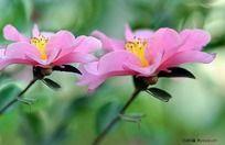 小区迎春花卉-茶花