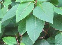 枇杷叶子绿