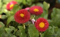 花卉 红色菊花