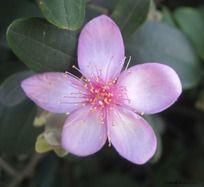 红粉山茶花儿