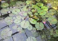 荷塘清新绿叶
