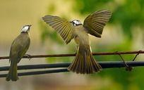 正在示爱的鸟