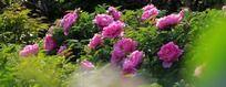 花团锦簇红牡丹