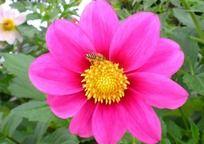 蜜蜂采蜜 开放的鲜花