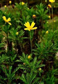 野生黄色小菊花
