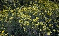 春意盎然的油菜花丛