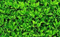 杜鹃花叶子背景底图