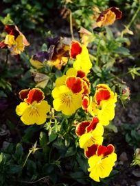 阳光下错落有致红黄相间的美丽花朵