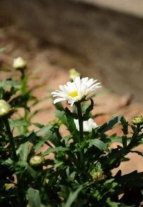 阳光下洁白亮丽的野菊花