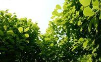阳光下翠绿茂盛的玉兰树叶
