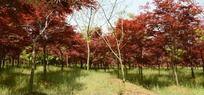 一片沐浴阳光的红色槭树林