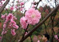 娇美的粉红色桃花