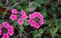 一丛唯美的粉红花朵特写