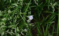 草丛中的紫色小花