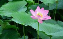 池塘里的荷叶和粉色荷花