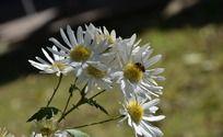 白色野菊花上的蜜蜂