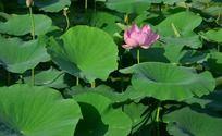 池塘里的荷叶和荷花