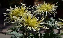 三朵盛开百媚的黄菊花