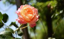 一朵沐浴阳光下的桔黄色月季花
