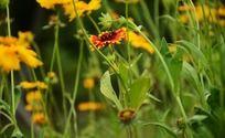 花丛中的天人菊