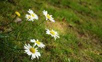 匍匐生长的野菊花
