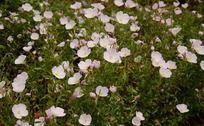 一片美丽开放的粉色月见草